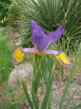 Spuria iris Clara Ellen