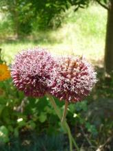 Allium amethystinum