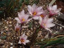 Habranthus tubispathus.Roseus