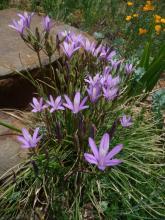 Brodiaea californica