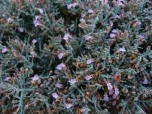 Teucrium subspinosun