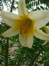Lilium Golden Saint