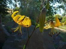 Lilium.leichtlinii.