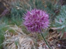 .Allium.saxatile.(small)