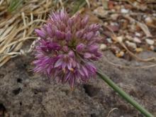 .Allium.saxatile