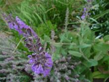 unknown herbaceous salvia