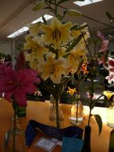 Best in Show.O-T.Lilium.Belladonna.