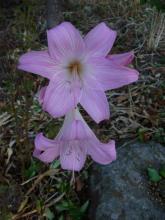 Amaryllis belladonna - stripey