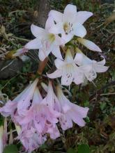 near white and mid-pink Belladonna Lilies
