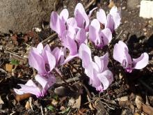 Cyclamen graecum pale-pink