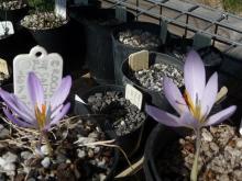 Crocus serotinus ssp salzmannii and Crocus asumaniae