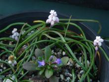 "Muscari ex ""Gul (Delight)"""