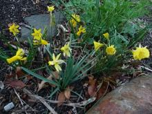 mini-daffs from Keira Bulbs