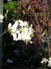 Amelanchier flowers Oct 3, 2014