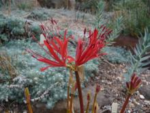 Lycoris (maybe) radiata