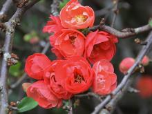 Red Chaenomeles closeup