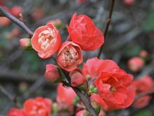 Red Chaenomeles