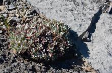 Eriogonum androsaceum
