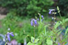 Salvia glechomifolia
