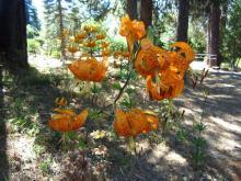 Flowering mid June