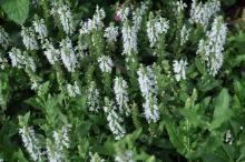 Salvia nemorosa 'Snow Hills'
