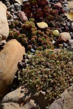 Potentilla nitida, Sempervivum