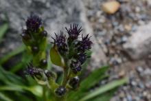 Saussurea nidularis