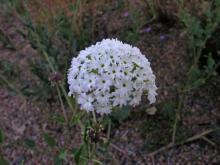 Abronia fragrans
