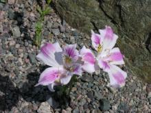 Alstroemeria pelegrina