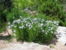 Amsonia orientalis