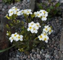 Arabis flaviflora