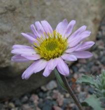 Machaeranthera coloradoensis