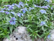 Buglossoides gastonii
