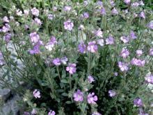 Chaenorrhinum origanifolium