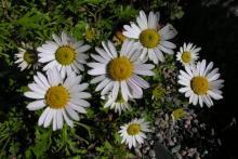 Chrysanthemum weyrichii 'White Bomb'