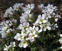 Coluteocarpus vesicaria