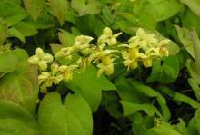 Epimedium versicolor 'Sulphureum\