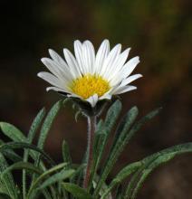 Hirpicium armerioides