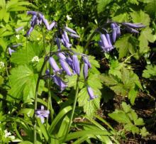 Hyacinthoides nonscripta