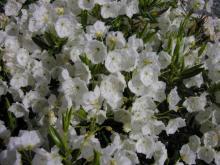 Kalmia polifolia 'Leucantha'