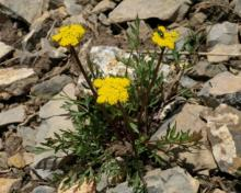 Oreoxis alpina