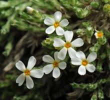 Phlox bryoides