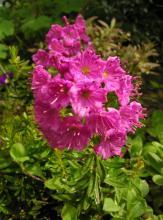 Phylliopsis X hilleri 'Pinocchio'