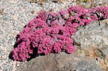 Hylotelephium cauticola 'Lidakense'