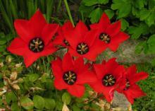 Tulipa batalinii 'Bright Gem'