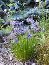 Allium cyaneum; Calgary, AB.