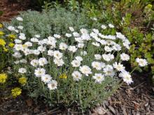 Achillea ageratifolia; Calgary, AB.