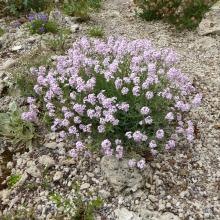 Aethionema schistosum; Calgary, AB.