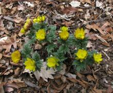 Adonis amurensis; photo by Todd Boland