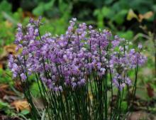 Allium thunbergii; photo by Todd Boland